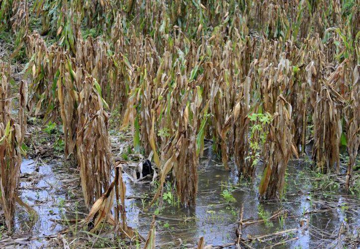 Debido a que el agua no sale, se estanca en las cosechas lo que  favorece que se eche a perder. (Harold Alcocer/SIPSE)