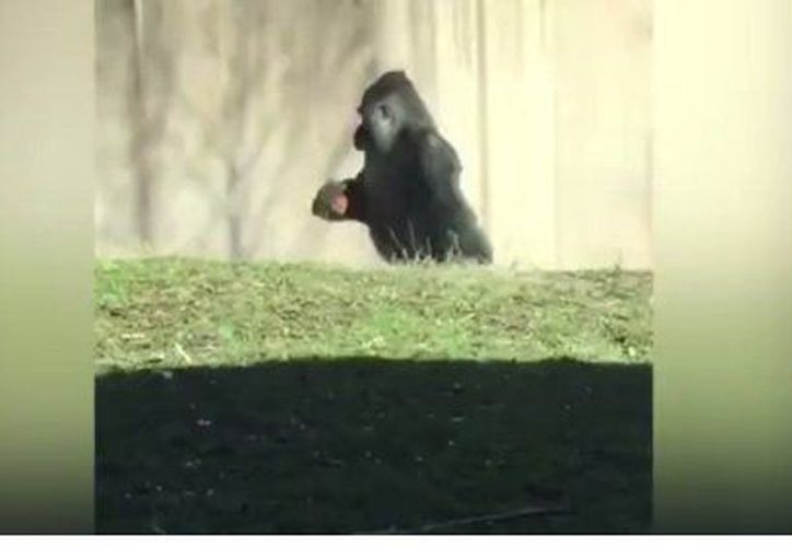 La inusual conducta del animal lo ha vuelto popular en redes sociales. (Foto: Captura del video)
