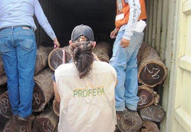 El tráfico ilegal de madera de especies tropicales y preciosas es una de las tareas prioritarias de la dependencia federal. (Foto de contexto/profepa.gob.mx)