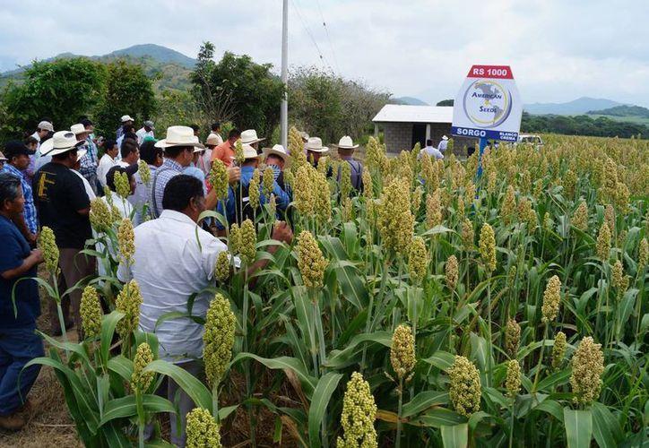 El rancho Alemania, en el municipio de Villacorzo, del Estado de Chiapas, mostró varios paquetes tecnológicos para la producción. (Javier Ortiz/SIPSE)