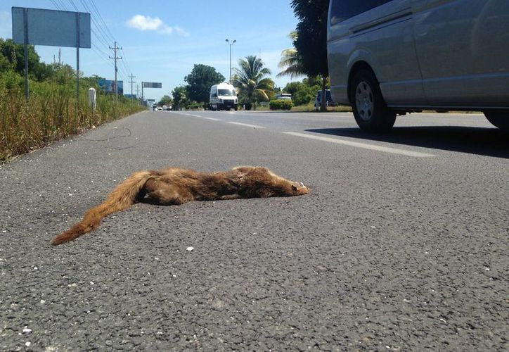"""Animales silvestres mueren al intentar cruzar las autopistas que """"se atraviesan"""" en su camino natural. (Luis Ballesteros/SIPSE)"""