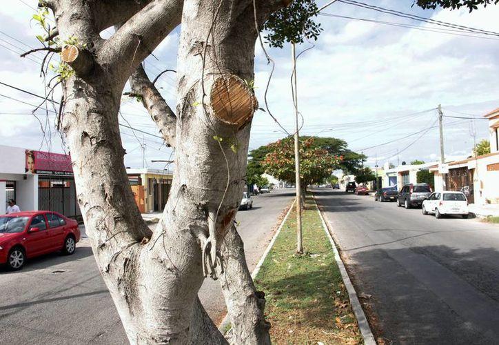 Por incumplir una orden superior de talar un árbol en lugar de podarlo, Felipe Alfonso Jiménez fue dado de baja del Ayuntamiento de Mérida. Imagen de un arbusto semicortado en una avenida de Mérida. (Archivo/SIPSE)
