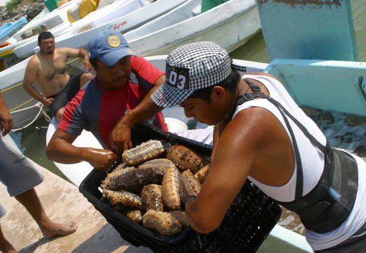 En Yucatán fueron capturadas más de mil toneladas de pepino de mar. (Archivo/Notimex)