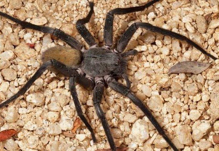 La mordida de esta araña no es letal. (Milenio Digital)