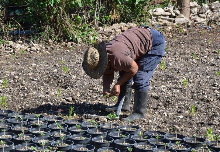 María Ruíz Guillén lleva 16 años produciendo plantas de aroma. (Edgardo Rodríguez/SIPSE)
