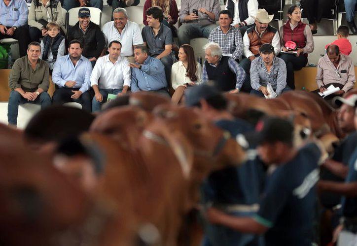 A la Feria Yucatán Xmatkuil llegaron 967 ejemplares bovinos, en sus diversas razas, a través de 110 ganaderías. (Foto: Milenio Novedades)