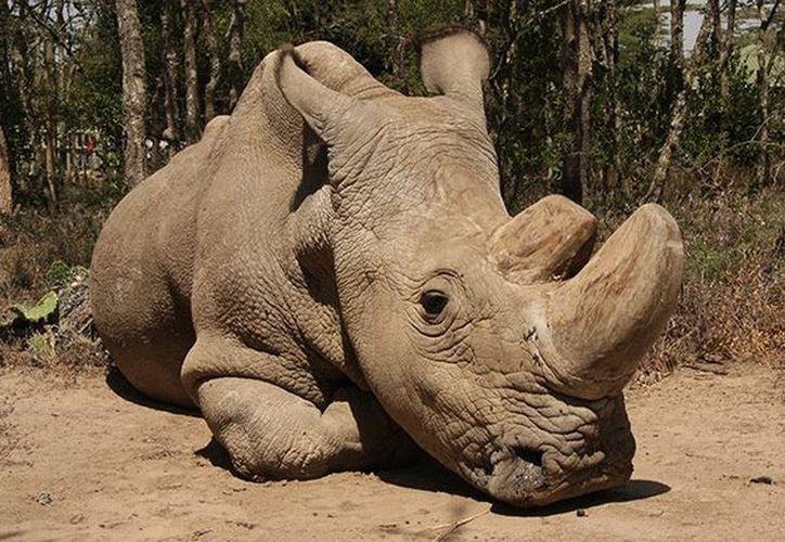 Sudán es uno de los tres rinocerontes blancos del norte que sobreviven sobre la Tierra. (@OlPejeta)