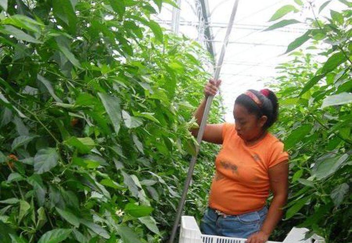 El precio por tonelada del chile habanero se encuentra por encima por los 10 mil pesos. (Edgardo Rodríguez/SIPSE)