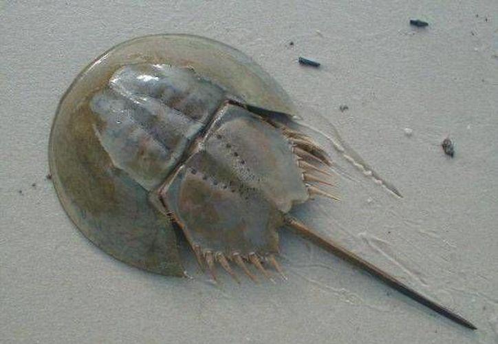 La 'cacerolita de mar' es una de las especies marinas más antiguas. (SIPSE)