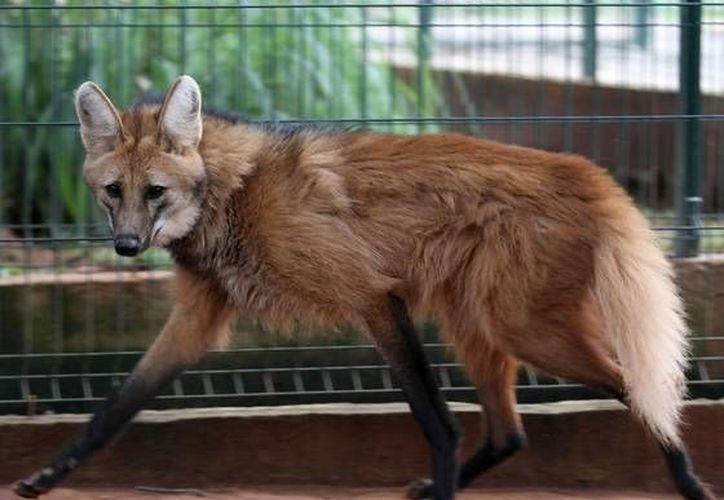 Un lobo de la especie guara, en el zoológico de Brasilia, Brasil. (Eraldo Peres, AP)