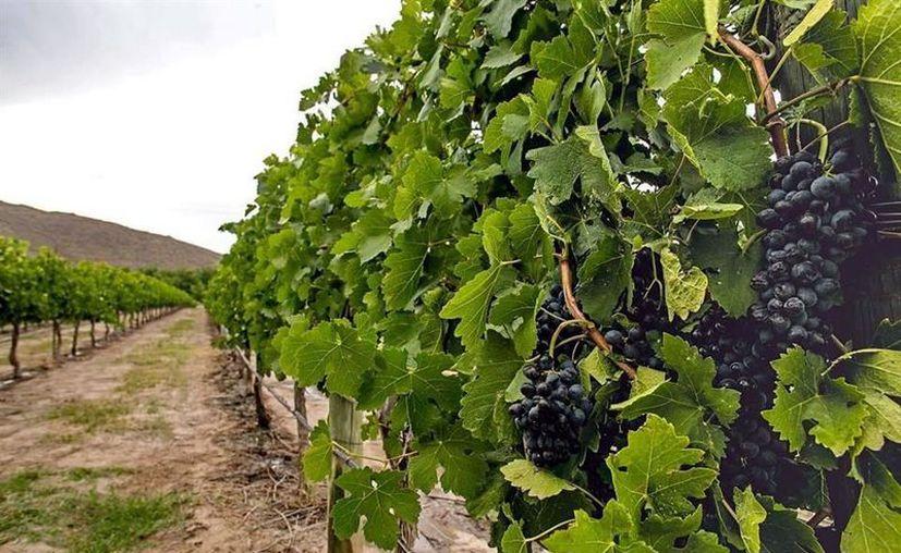 Los vinos de Casa Madero obtuvieron cuatro medallas, dos de oro y dos más de plata, en el Challenge International du Vin, celebrado en Francia, donde se evaluaron más de 5 mil vinos, procedentes de 37 países. (Foto: Reforma).