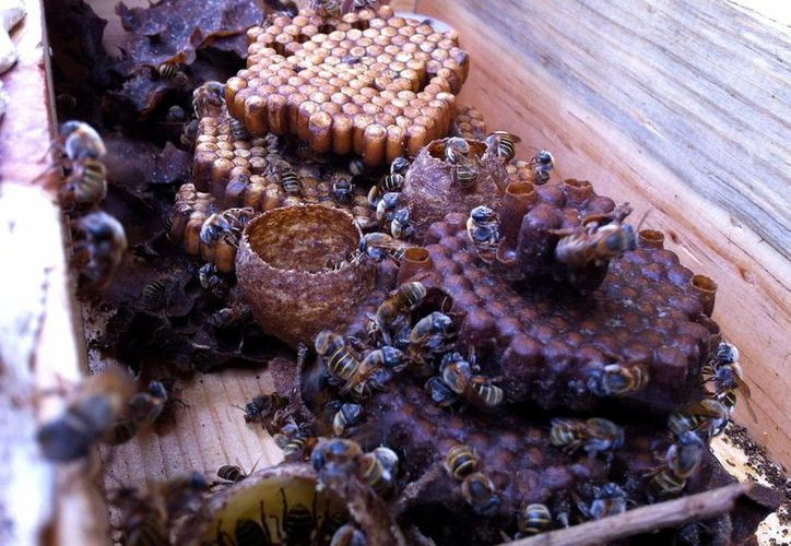 La siembra de la soya transgénica representa una amenaza para la actividad apícola que afecta a más de 15 mil productores que cada año obtienen 5 mil toneladas de miel. Imagen de un panal. (Archivo/SIPSE)