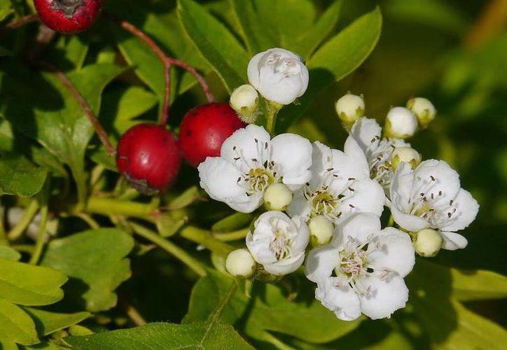 Los beneficios del Espino blanco (Crataegus monogyna) han sido certificados incluso por el Ministerio de Sanidad de Alemania. (SIPSE)