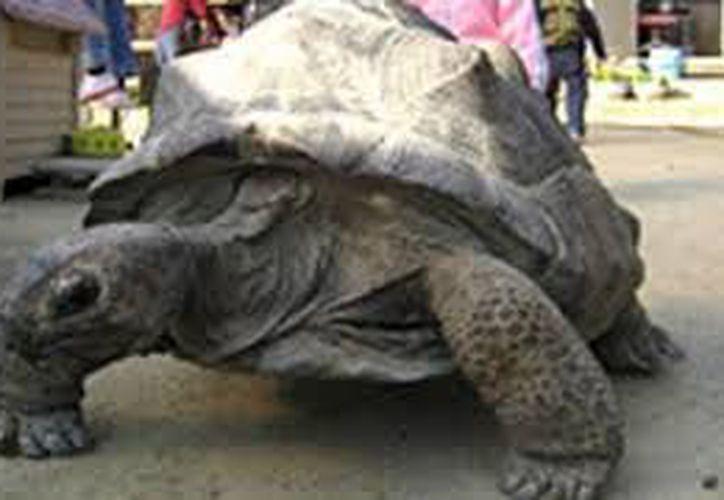 La tortuga ya había desaparecido apenas el pasado 21 de julio. (Foto: Excélsior)