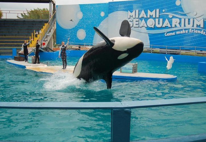 Activistas piden que Lolita, que genera grandes ingresos al Acuario de Miami, sea devuelta al mar. (grayline.com)