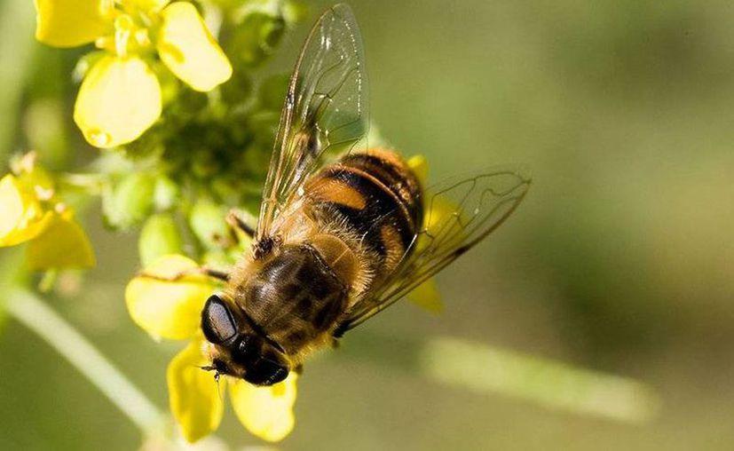 La celebración anual del Día Mundial de las Abejas permite sensibilizar acerca del papel esencial que las abejas. (Archivo/Sipse)