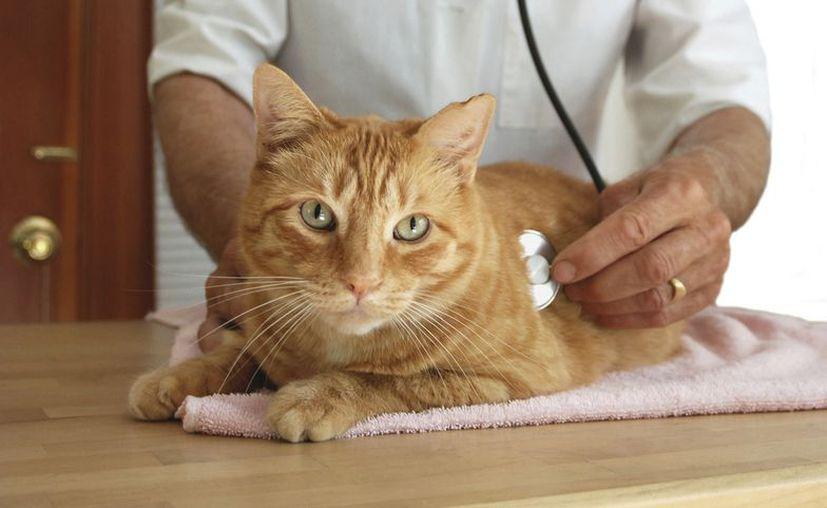 El potencial de este nuevo virus de gato se desconoce por ahora. (Contexto)