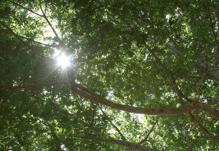 Los árboles reducen hasta siete grados la temperatura ambiental, según expertos.  (Redacción/SIPSE)