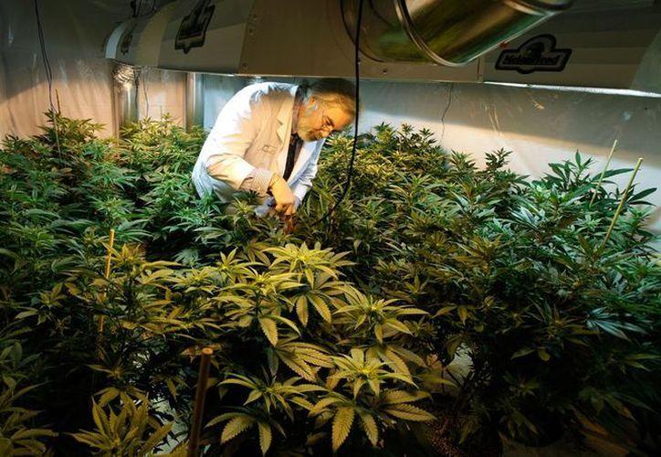 La droga ya es legal en los estados de Colorado y Washington. (Archivo/AP)