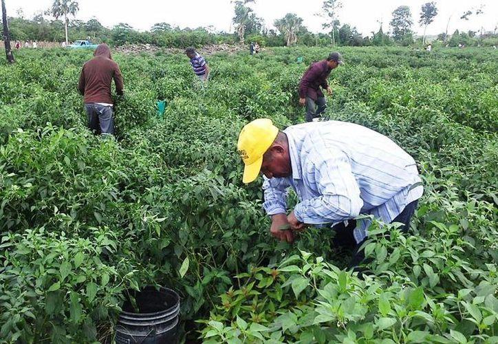 En los últimos 20 años, el cultivo de chile jalapeño ha ido en declive en Quintana Roo. (Edgardo Rodríguez/SIPSE)