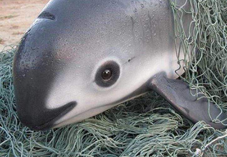 La vaquita marina es una de las 128 especies de cetáceos en el mundo que se encuentra amenazada. (upsocl.com)
