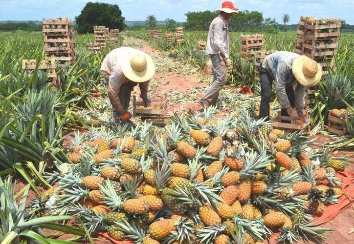 Tratarán de evitar que los campesinos sigan siendo víctimas del coyotaje. (Carlos Castillo/SIPSE)