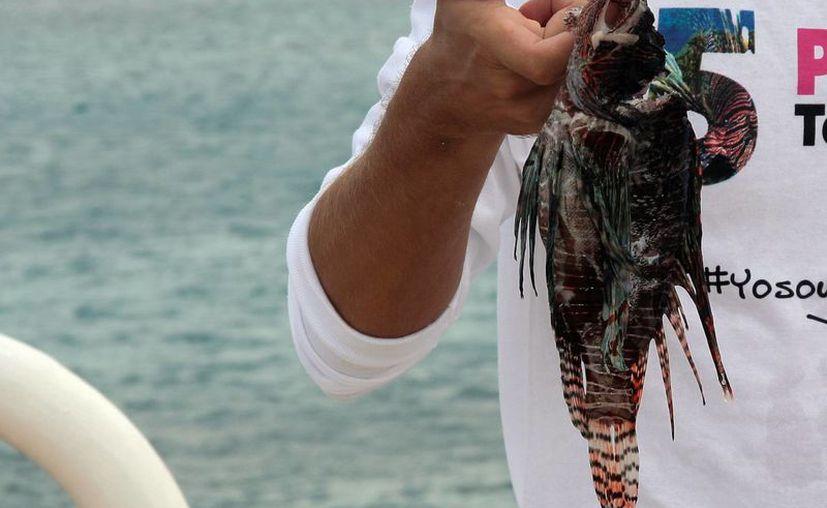 Puerto Morelos ha logrado implementar programas para el control del pez león, especie invasora que amenaza el equilibrio del ecosistema. (Luis Soto/SIPSE)