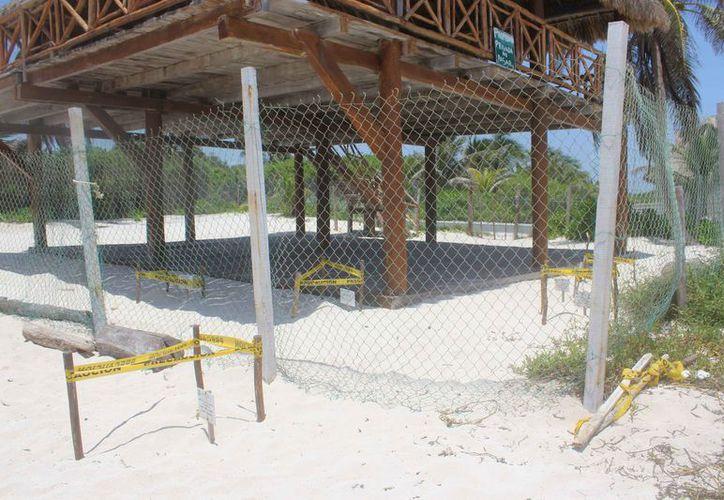 En las costas implementan el programa municipal de protección a la tortuga marina. (Sara Cauich/SIPSE)