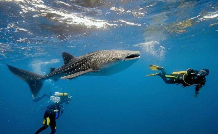 La temporada de tiburón ballena en el Caribe mexicano inició oficialmente el 15 de mayo y concluye a mediados de septiembre. (Contexto/Internet)