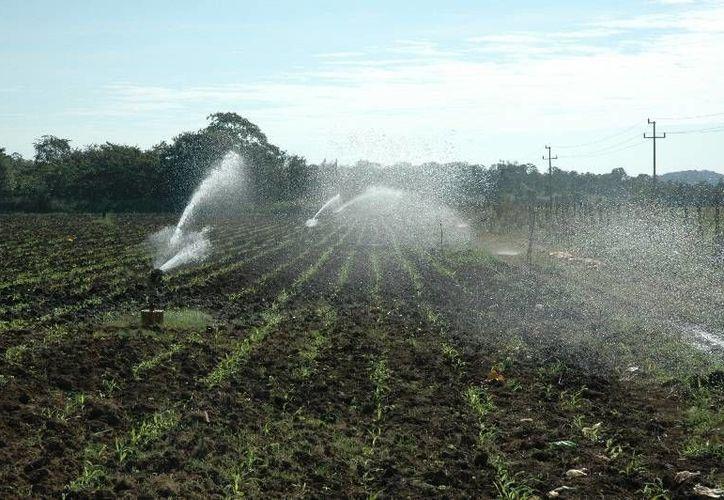Las plagas del acaro rojo para el coco, el HLB de los cítricos y la mosca pinta en la caña de azúcar, ya ocasionan diversos daños en los sembradíos. (Edgardo Rodríguez/SIPSE)