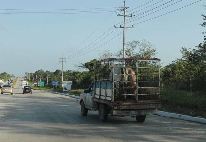 Venden su ganado indiscriminadamente, sin importar si son animales de destete. (Edgardo Rodríguez/SIPSE)