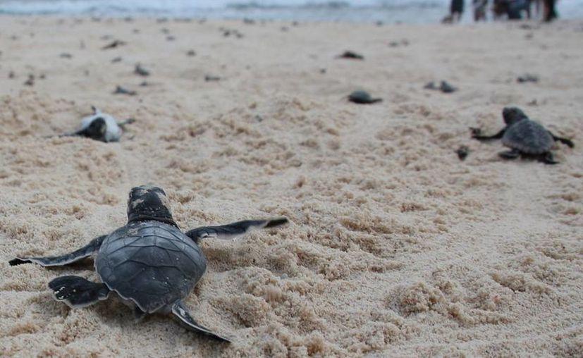 La dirección de Ecología de Benito Juárez ha registrado el varamiento de cuatro tortugas marinas. (Tomás Álvarez/SIPSE)