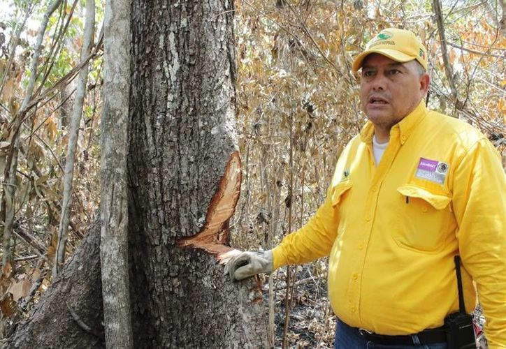 Autoridades temen que el aprovechamiento de los recursos siniestrados dé pie a una tala inmoderada. (Edgardo Rodríguez/SIPSE)