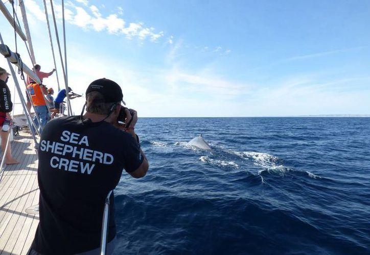 Sea Sheperd ya cuenta con capítulos en nueve estados de la República Mexicana. (Sea Shepherd Conservation Society)