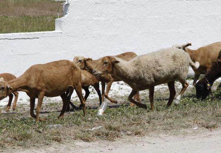 Los animales son arreados por una sola persona. (Harold Alcocer/SIPSE)
