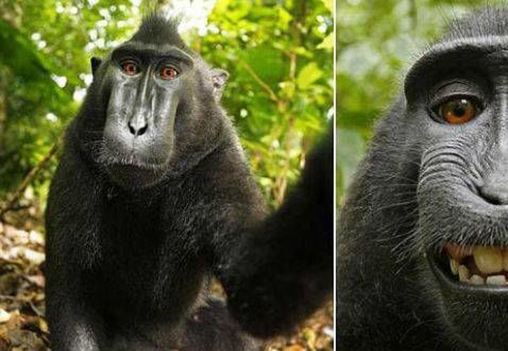 Las selfies fueron tomadas en  2011 por macacos negros crestados. (The Telegraph/David J. Slater/Caters)