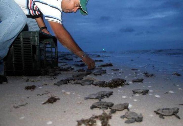 Desde abril llegan miles de tortugas a las playas de Yucatán para depositar sus huevos, por lo que piden a los vacacionistas respetar los nidos. (Archivo/Milenio Novedades)