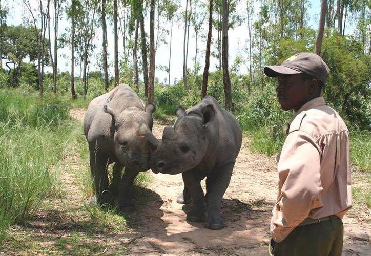 Tafadzwa Gosho era catalogado como un cuidador experimentado de rinocerontes. (twitter.com/sam_nyaude)