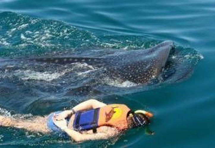 Debido a las lesiones que se han encontrado en tiburones ballena, se ha solicitado la restricción de grandes embarcaciones por la zona de avistamiento de esta especie.  (Archivo/SIPSE)