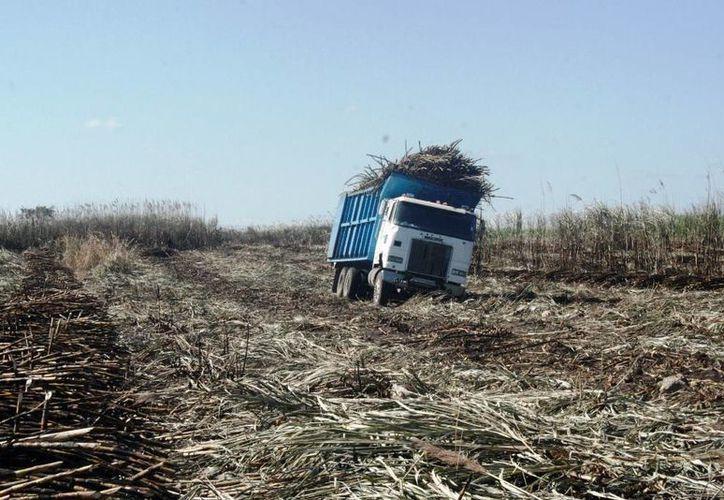 Las lluvias de los últimos días generaron malas condiciones de piso para la cosecha y quema. (Edgardo Rodríguez/SIPSE)