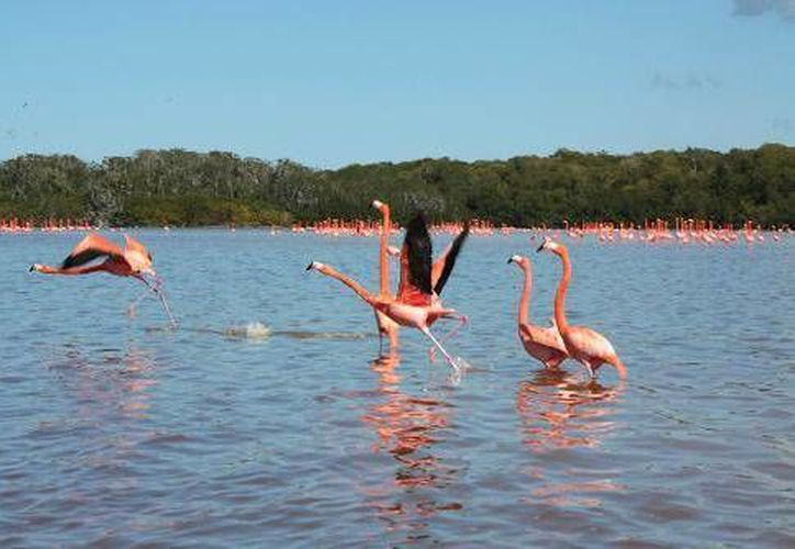 Yucatán es hábitat del flamenco rosado o flamenco rosa del Caribe. (SIPSE)