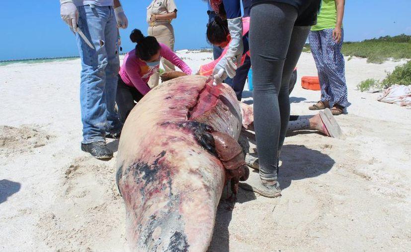 Tras el recalamiento del pasado fin de semana de un cachalote hembra embarazado, la autopsia determinó que la posible causa del varamiento fue por la presencia de bolsas de plástico. (Gerardo Keb/Milenio Novedades)