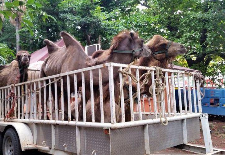 Imagen de los animales rescatados en un predio de Xmatkuil. (Milenio Novedades)
