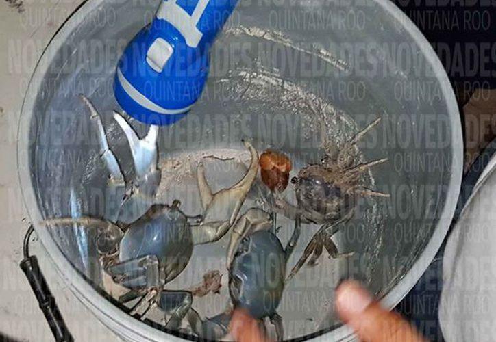 Los voluntarios han participado activamente para proteger a los cangrejos. (Eva Murillo/SIPSE)