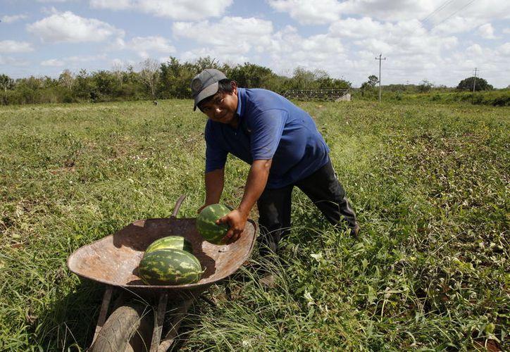 Campesinos señalan que prefieren trabajar con lo poco que tiene. (Javier Ortiz/SIPSE)