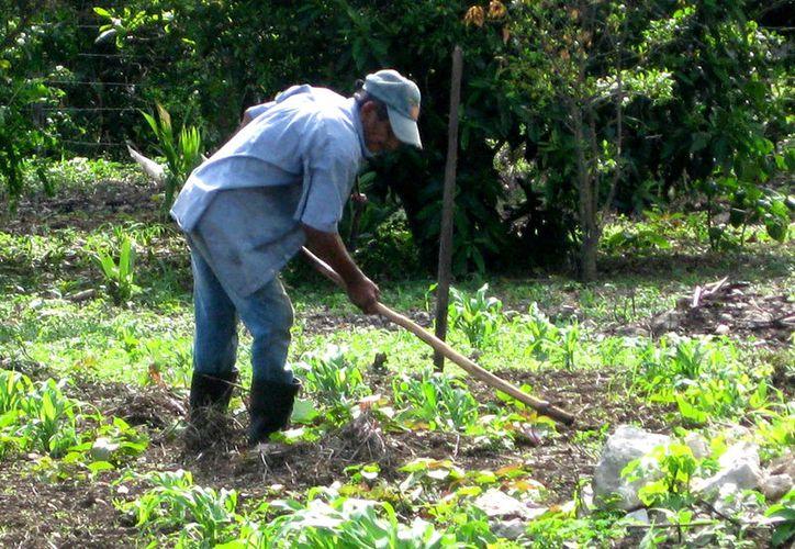 Familias desean sembrar sus semillas de maíz, porque para comer tortilla tienen que comprar harina, lo que afecta su economía. (Foto: Javier Ortiz  / SIPSE)