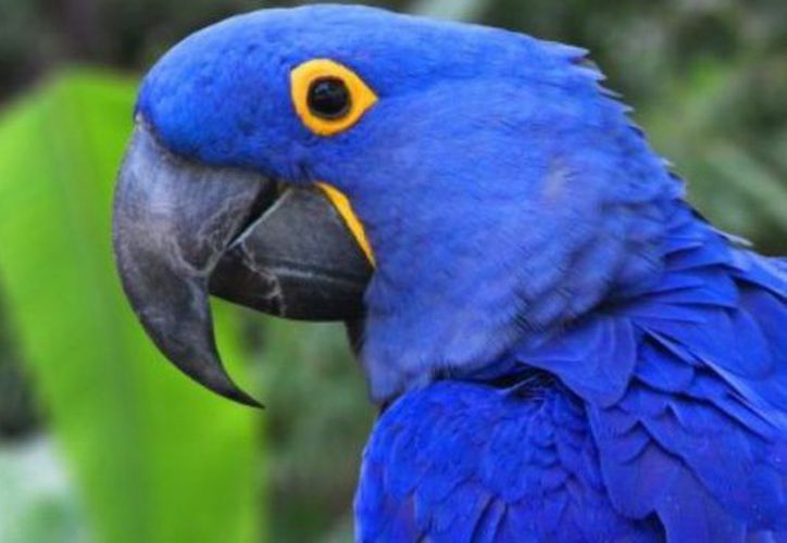 Un estudio realizado por Bird Life señaló que el guacamayo Spix, un loro nativo de Brasil se extinguió en el año 2000, debido, principalmente a la deforestación. (Internet)