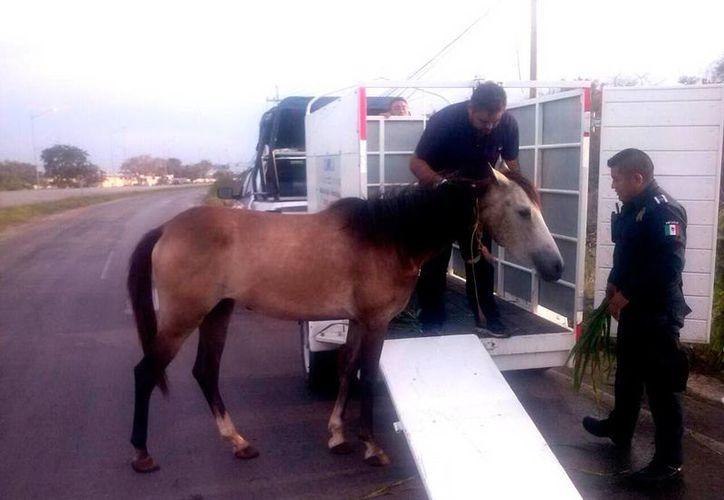 Una yegua que pastaba junto al periférico de Mérida fue rescatada por agentes de la policía, a fin de evitar accidentes en esa transitada zona. (SIPSE)