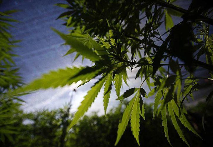 Personas de estados como Aguascalientes, Sonora y Tamaulipas han solicitado autorización para sembrar marihuana para consumo personal. (Archivo/Notimex)