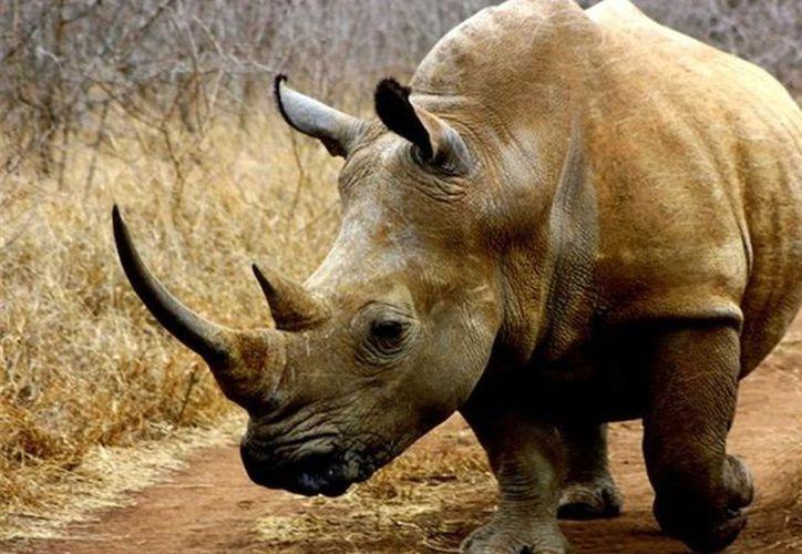 Ocho rinocerontes negros murieron en Kenia durante el intento de trasladarlos de la capital a un parque nacional. (Foto: Contexto)